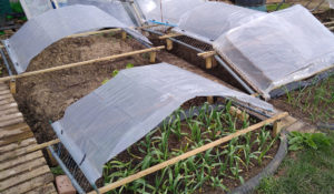 Clunnel cloches over garlic